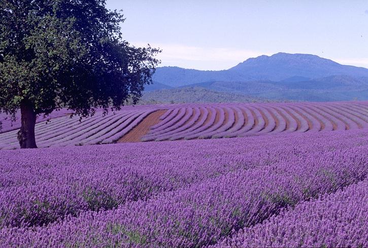 Bridestowe Lavender Estate - Cruisin Motorhome Rentals Australia